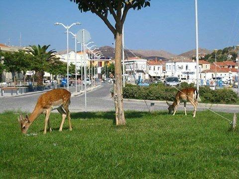 Lemnos Island Lemnos Island  Port - Deers - by Isidoros