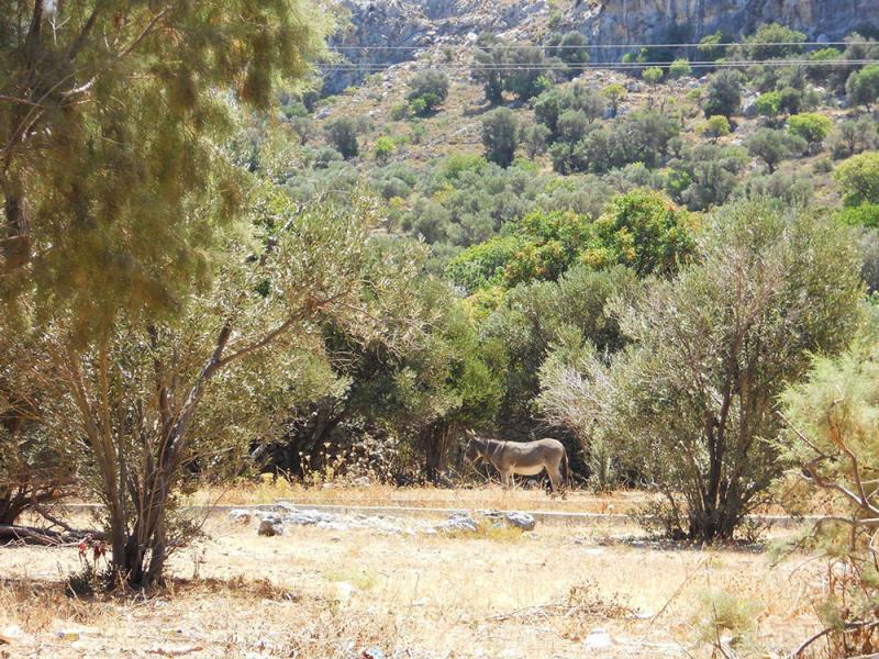 Kalymnos Island Donkey in Arginonta village  Photo by Anna Makarouna