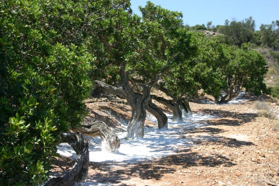 Chios Island Mastiha tree  Chios Tourism Department archive